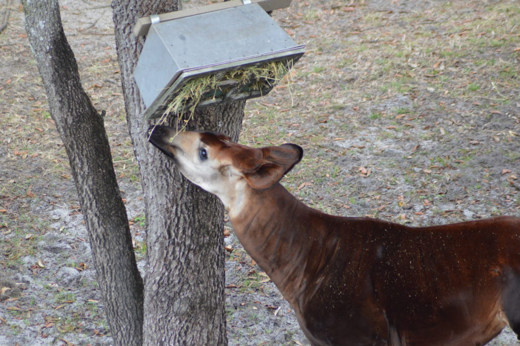 Okapi eating from a feeder in a tree at Disney's Animal Kingdom Lodge